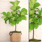 Ficus Lyrata Trees (1) 3d model