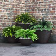 Hosts in pots 3d model