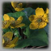 Marsh marigold 3d model