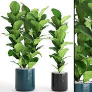 Ficus Lyrata Trees (3) 3d model