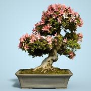 小月盆景树开花12 3d model