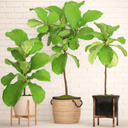 Ficus Lyrata Trees collectie 3d model
