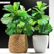 ficus bitkileri 115 3d model