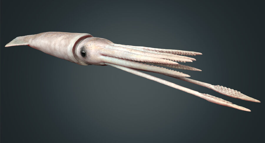 Squid royalty-free 3d model - Preview no. 16