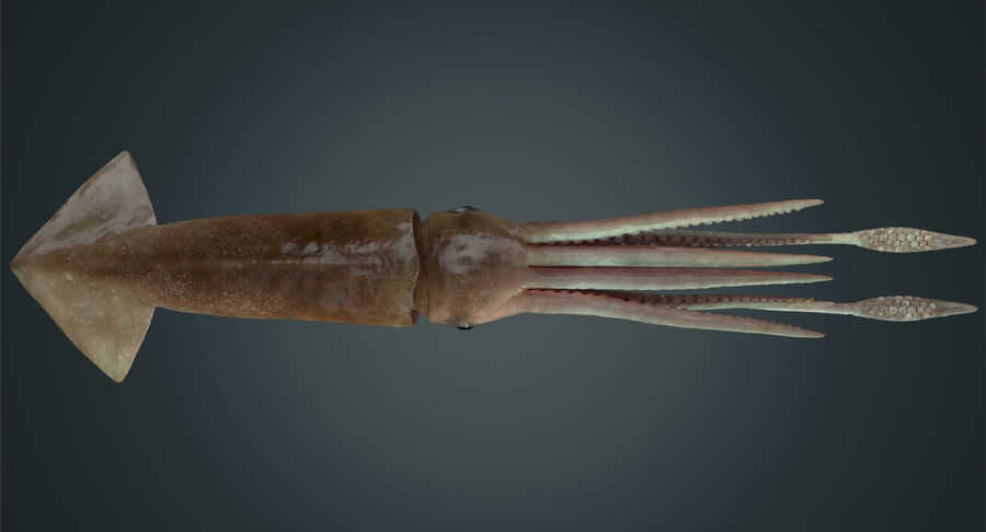 Squid royalty-free 3d model - Preview no. 11