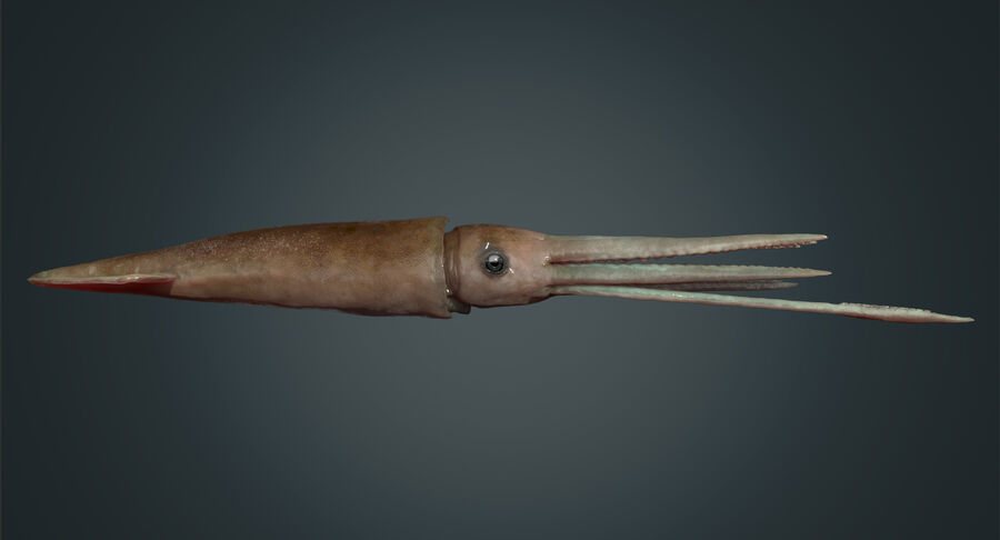 Squid royalty-free 3d model - Preview no. 10