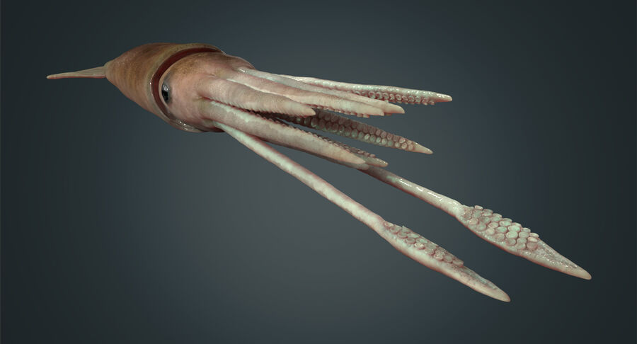 Squid royalty-free 3d model - Preview no. 14