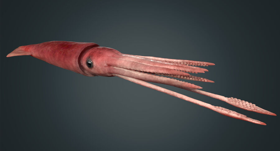 Squid royalty-free 3d model - Preview no. 3