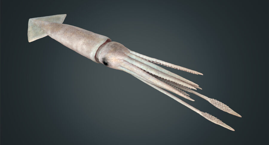 Squid royalty-free 3d model - Preview no. 18