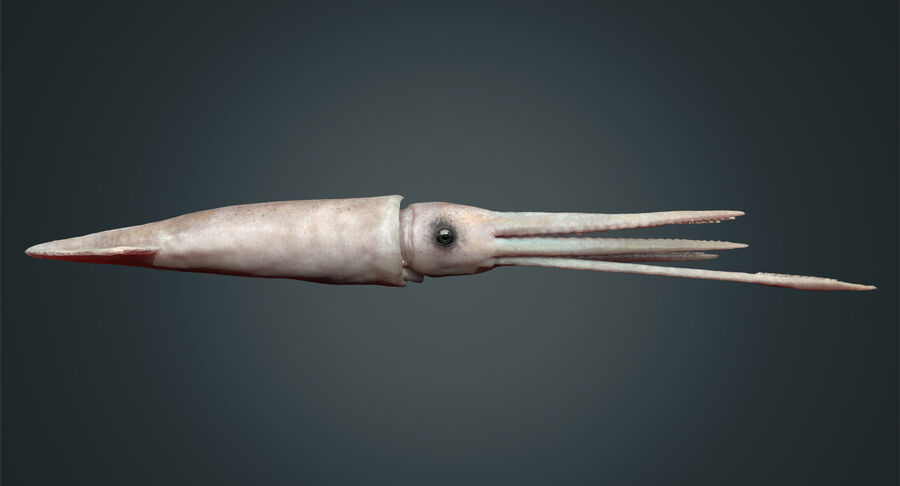 Squid royalty-free 3d model - Preview no. 15
