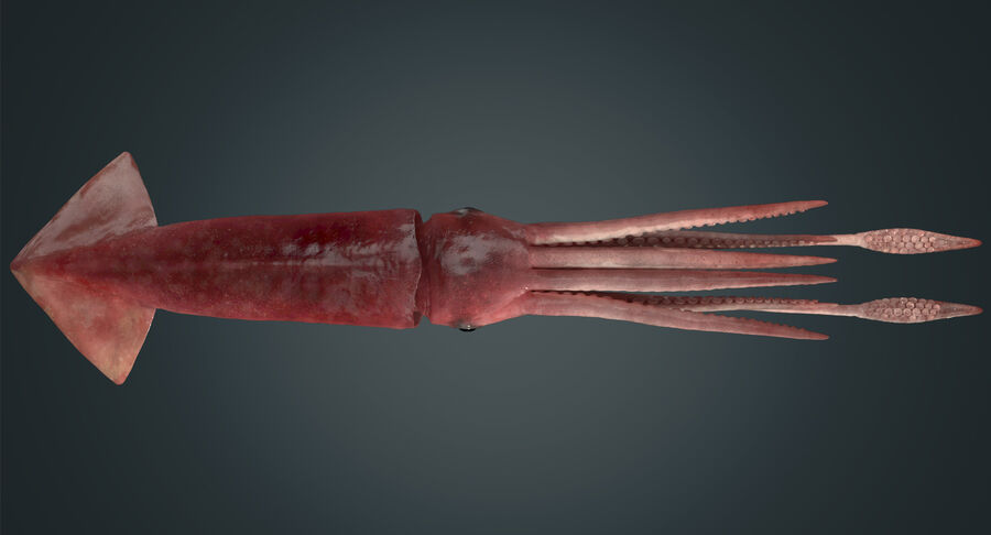 Squid royalty-free 3d model - Preview no. 6