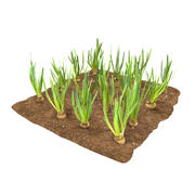 Onion 3 growth stages 3d model