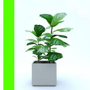 Bitki Ficus Pot_ 3d model