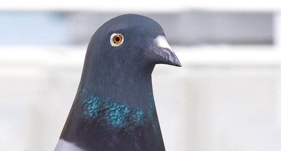 Pigeon royalty-free 3d model - Preview no. 9