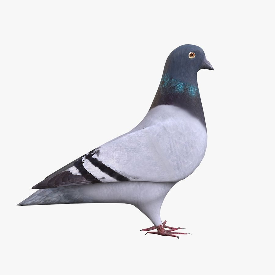 Pigeon royalty-free 3d model - Preview no. 1