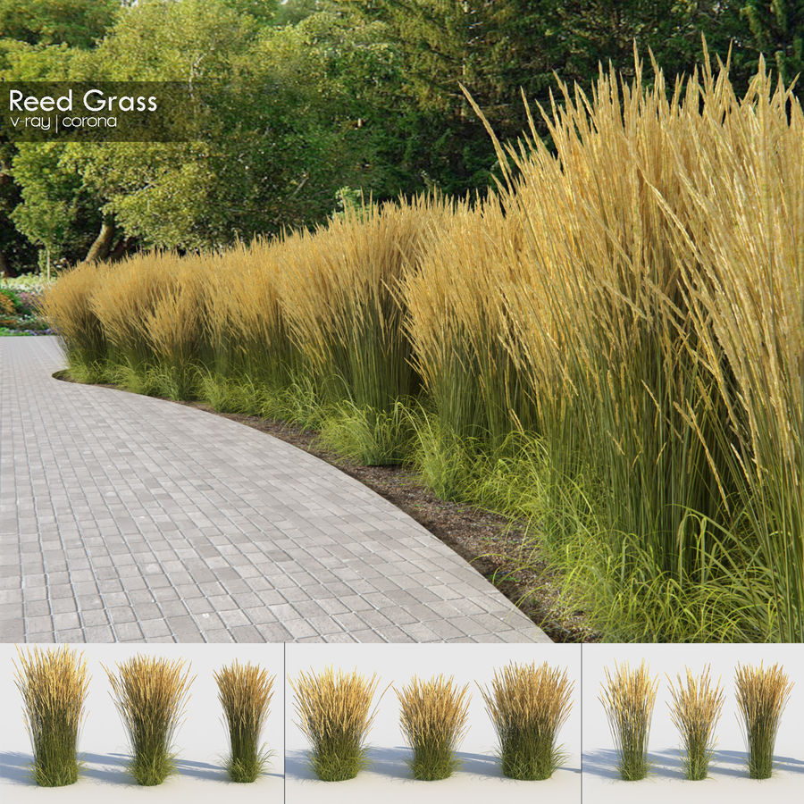 Reed Grass (Calamagrostis) royalty-free 3d model - Preview no. 1