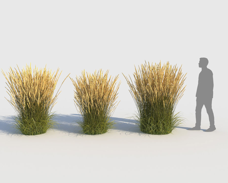 Reed Grass (Calamagrostis) royalty-free 3d model - Preview no. 4