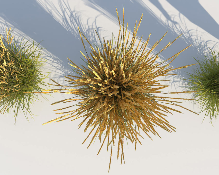 Reed Grass (Calamagrostis) royalty-free 3d model - Preview no. 7