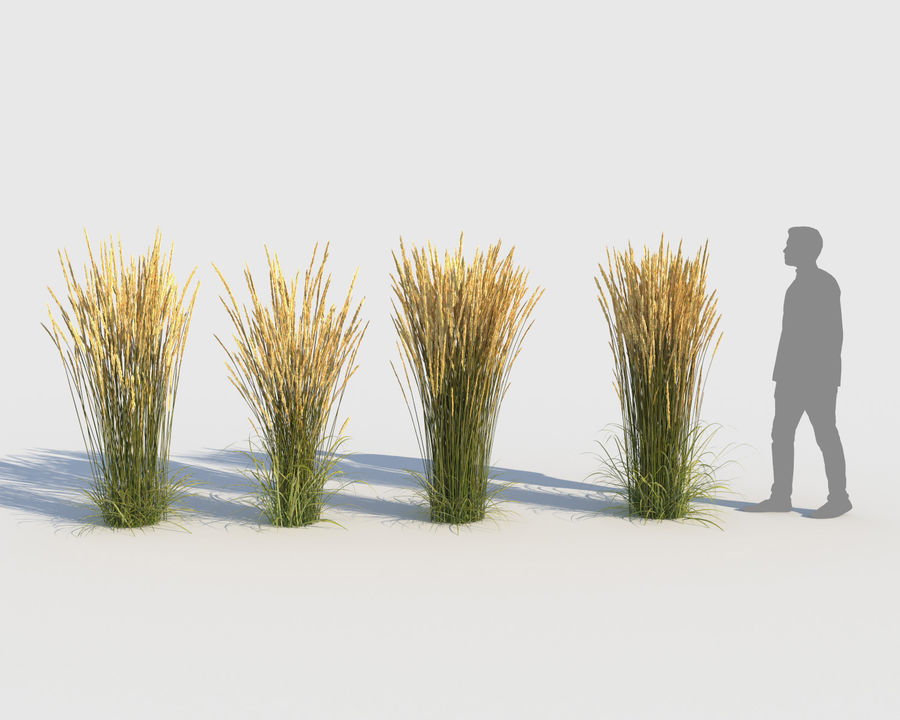 Reed Grass (Calamagrostis) royalty-free 3d model - Preview no. 2