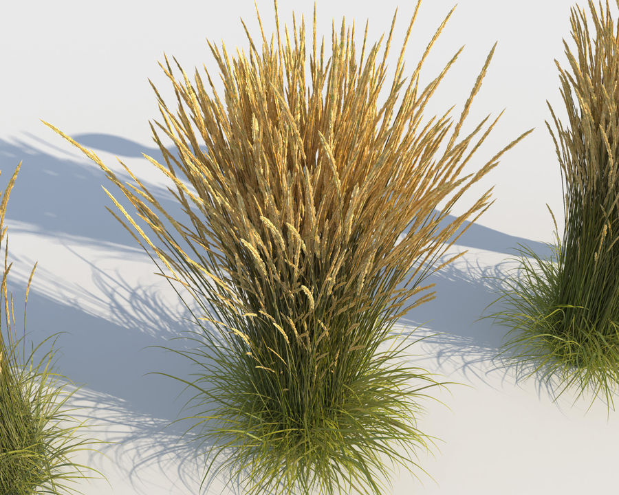 Reed Grass (Calamagrostis) royalty-free 3d model - Preview no. 5
