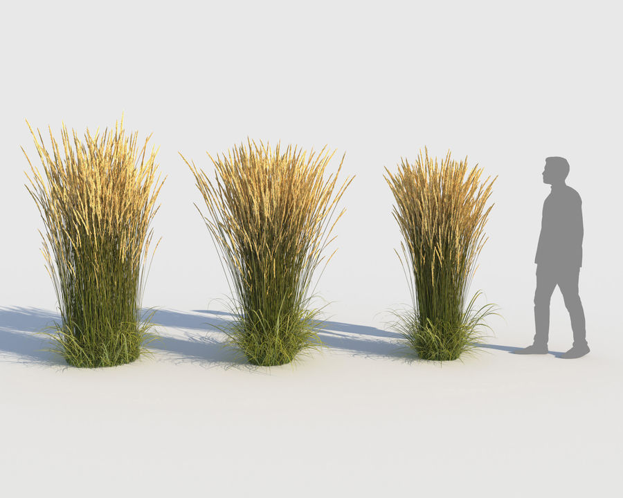 Reed Grass (Calamagrostis) royalty-free 3d model - Preview no. 3