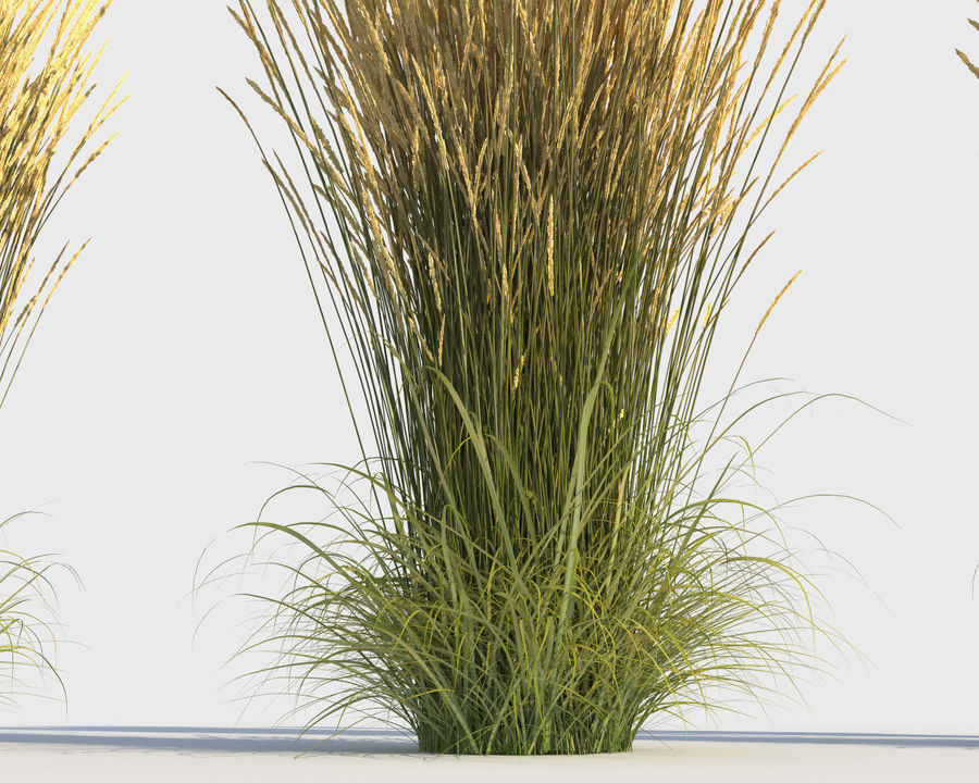 Reed Grass (Calamagrostis) royalty-free 3d model - Preview no. 6