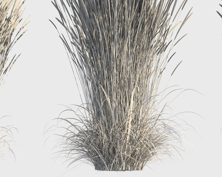 Reed Grass (Calamagrostis) royalty-free 3d model - Preview no. 9