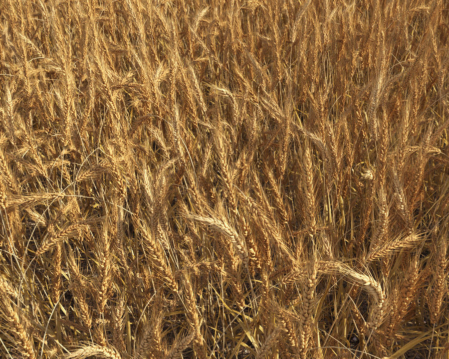Wheat Field (+GrowFX) royalty-free 3d model - Preview no. 10
