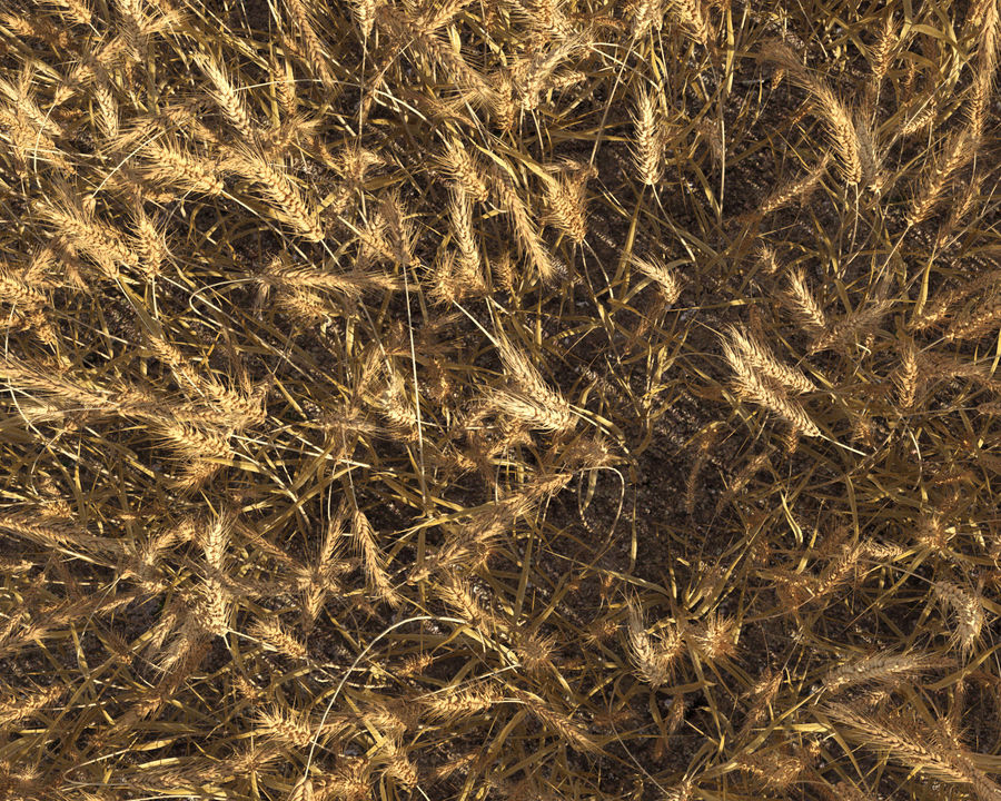 Wheat Field (+GrowFX) royalty-free 3d model - Preview no. 11