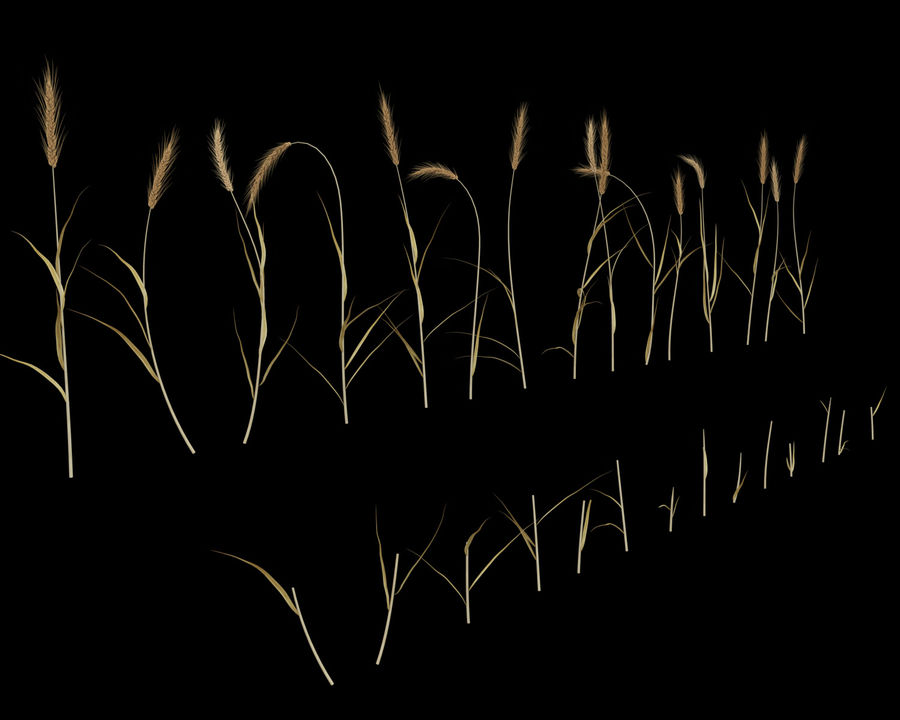 Wheat Field (+GrowFX) royalty-free 3d model - Preview no. 5