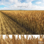Wheat Field (Triticum) 3d model
