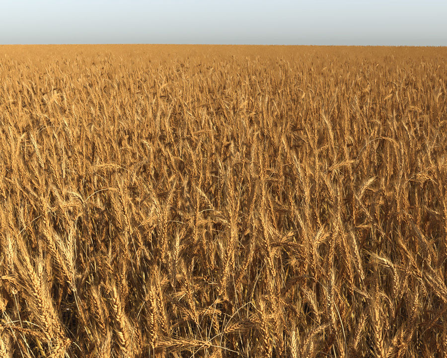 Wheat Field (+GrowFX) royalty-free 3d model - Preview no. 8