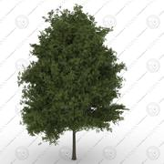 HackberryTree(Prunuspadus) 3d model