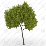 Honey Locust Tree(Gleditsiatriacanthos) 3d model