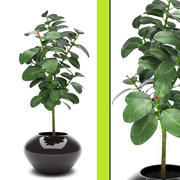 植物イチジク 3d model
