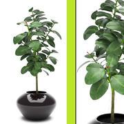 Bitki ficus 3d model