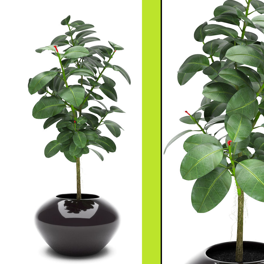 Plant Ficus royalty-free 3d model - Preview no. 1