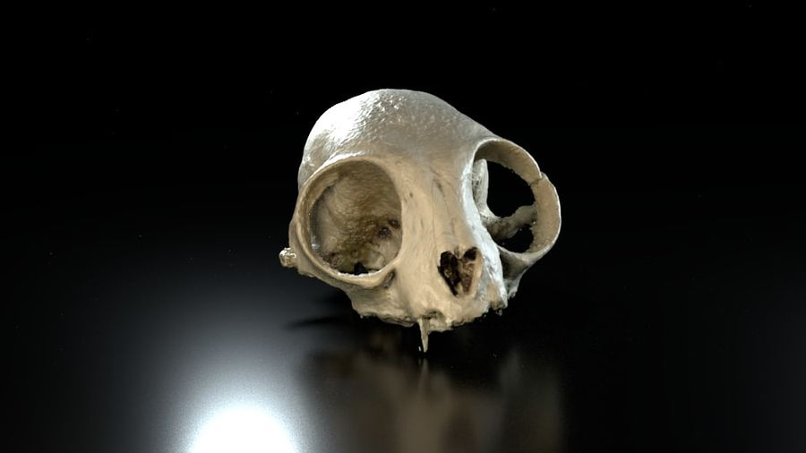 Cat Skull 3D Scan royalty-free 3d model - Preview no. 3