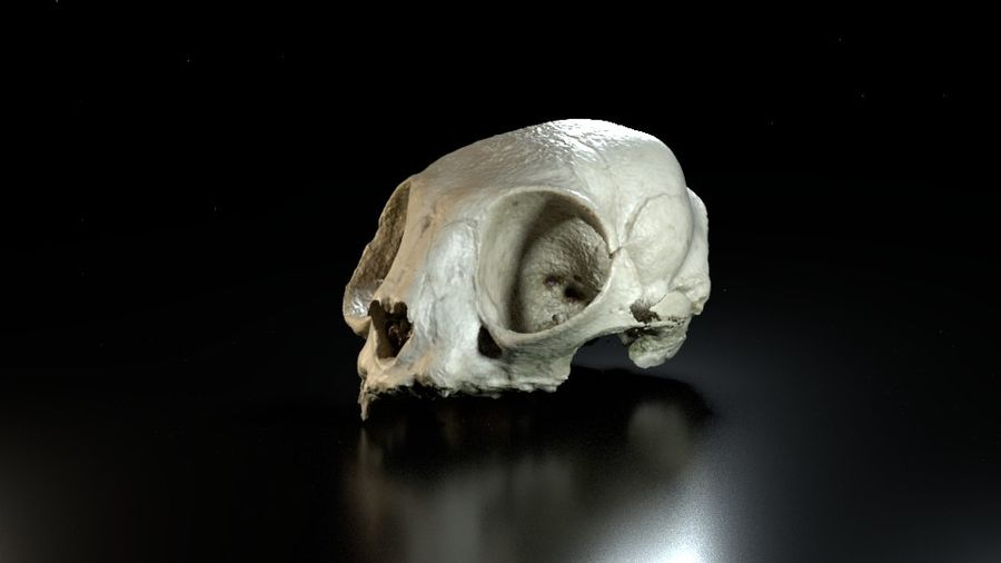Cat Skull 3D Scan royalty-free 3d model - Preview no. 5