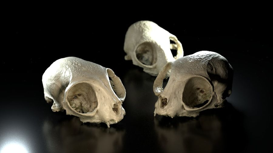 Cat Skull 3D Scan royalty-free 3d model - Preview no. 2