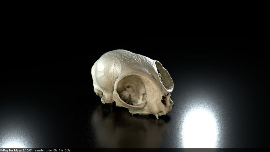 Cat Skull 3D Scan royalty-free 3d model - Preview no. 1