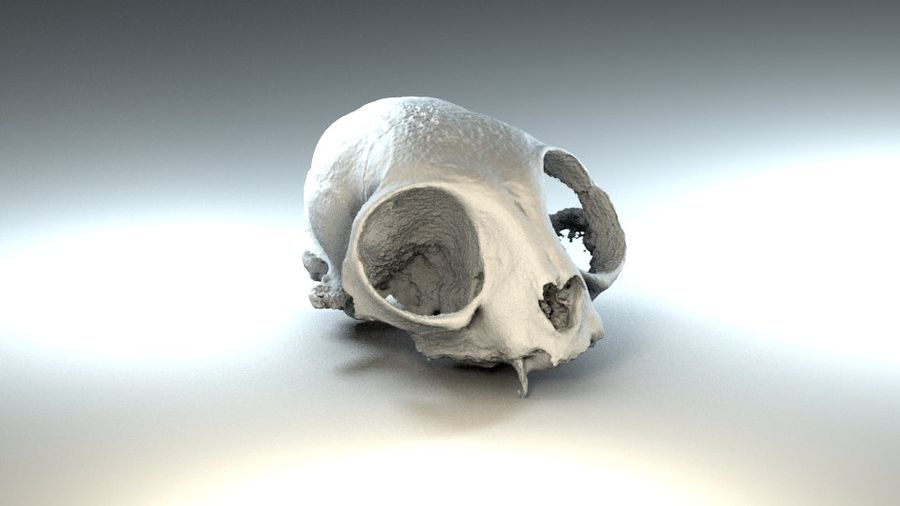 Cat Skull 3D Scan royalty-free 3d model - Preview no. 4