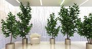 무화과 나무 lyrata 3d model