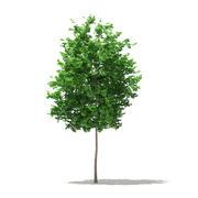 イチョウの木(イチョウ葉)3.5m 3d model
