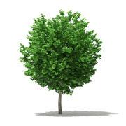 イチョウの木(イチョウ葉)3.6m 3d model