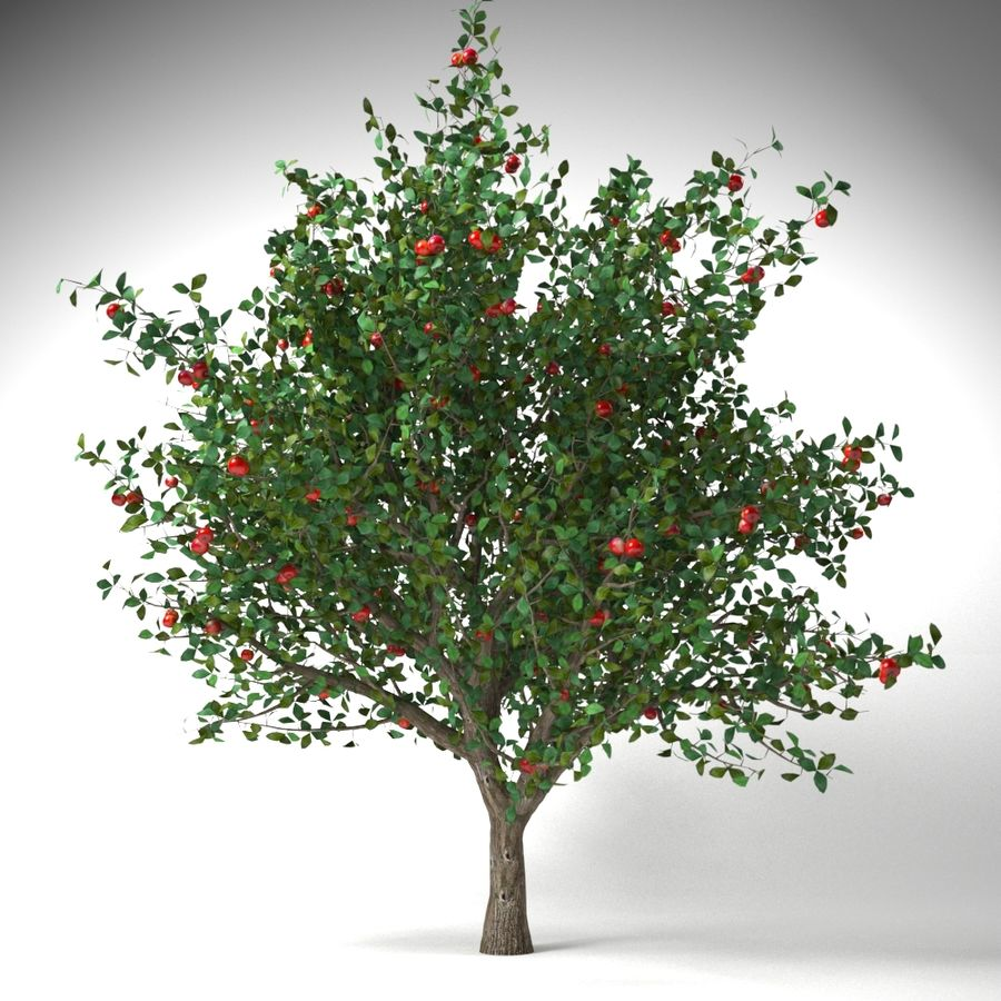 apple tree 5.5 mrter malus domestica royalty-free 3d model - Preview no. 2