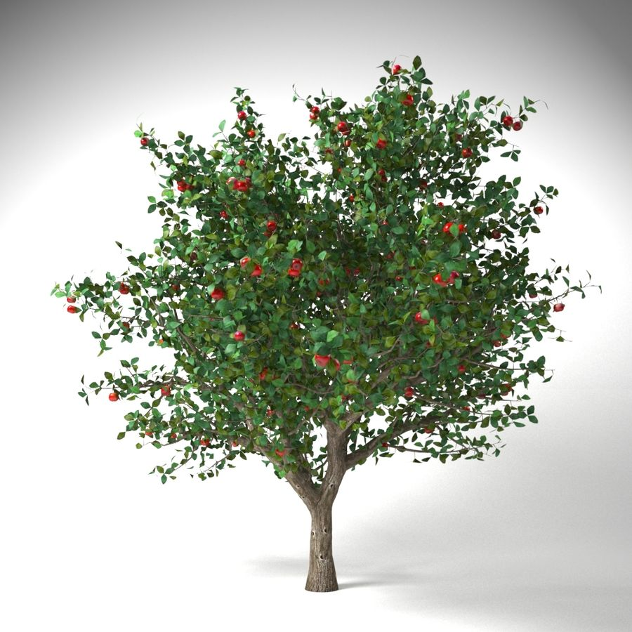 apple tree 5.5 mrter malus domestica royalty-free 3d model - Preview no. 1