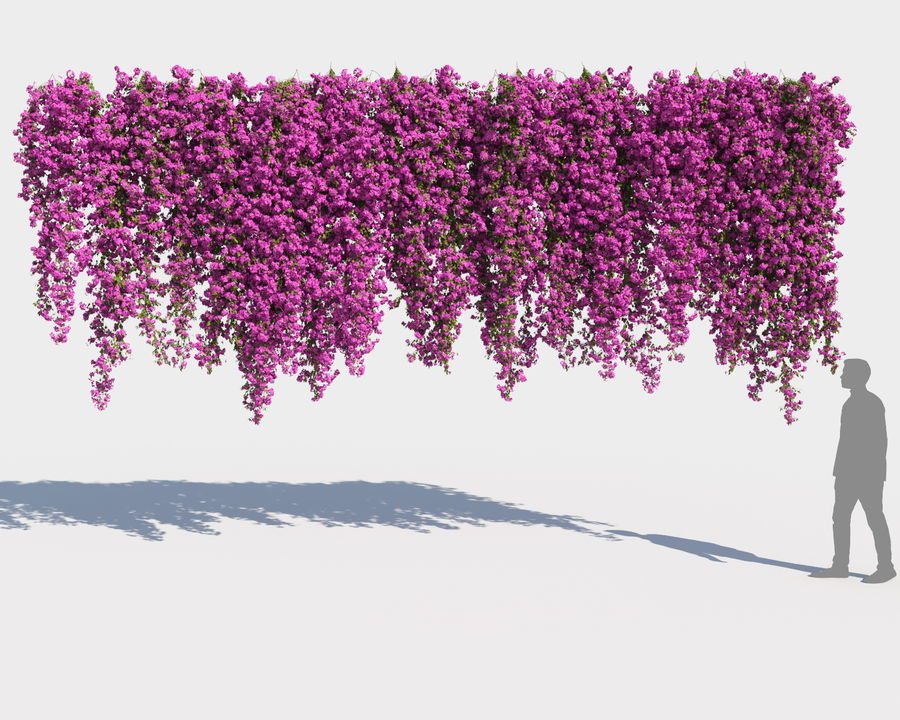 Climbing Bougainvillea Collection 2 (+GrowFX) royalty-free 3d model - Preview no. 10
