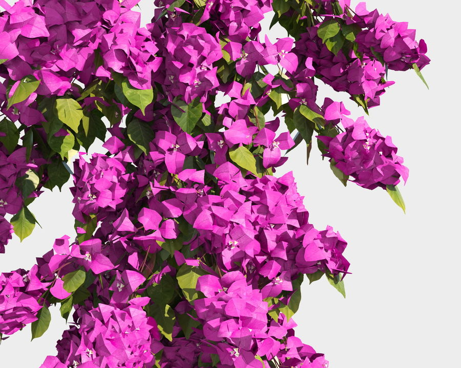 Climbing Bougainvillea Collection 2 (+GrowFX) royalty-free 3d model - Preview no. 13