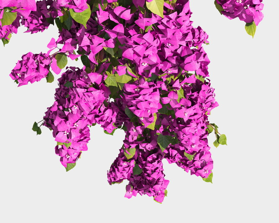 Climbing Bougainvillea Collection 2 (+GrowFX) royalty-free 3d model - Preview no. 14